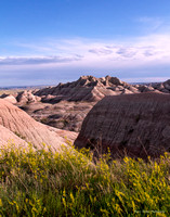 Yellow Sweetclover at Badlands National Park